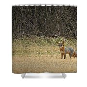 Gray Fox In Lower Pasture Shower Curtain