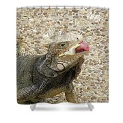Gray Iguana Eating Lettuce With His Pink Tongue Sticking Out Shower Curtain