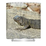 Gray Iguana Sunning And Resting On A Large Rock Shower Curtain