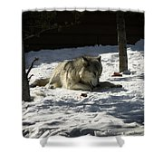 Gray Wolf 2 Shower Curtain