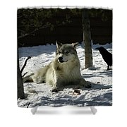 Gray Wolf 4 Shower Curtain