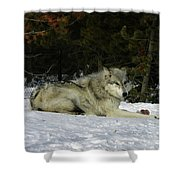 Gray Wolf 5 Shower Curtain