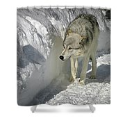 Gray Wolf 7 Shower Curtain