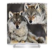 Gray Wolf Canis Lupus Pair In The Snow Shower Curtain