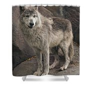 Gray Wolf On A Rock Shower Curtain