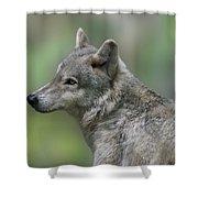 Gray Wolf  Shower Curtain