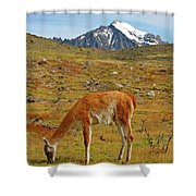 Grazing Guanaco In Patagonia Shower Curtain