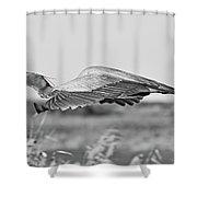 Great Blue Egret In Flight Shower Curtain