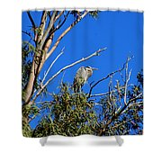Great Blue Heron In Eucalyptus Tree Shower Curtain