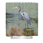 Great Blue Heron Near Pond Shower Curtain
