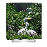 Great Egret Chicks 2 Shower Curtain