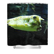 Great Longhorn Cowfish Swimming Along Underwater Shower Curtain