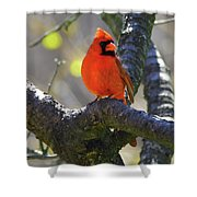 Great  Perch Male Northern Cardinal Shower Curtain