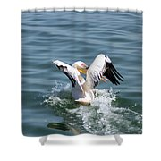 Great White Pelican In Flight Shower Curtain
