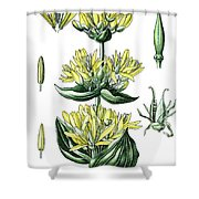 great yellow gentian, Gentiana lutea Shower Curtain