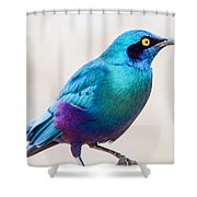 Greater Blue-eared Starling Shower Curtain