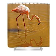 Greater Flamingo In The Water At Galapagos Islands Shower Curtain