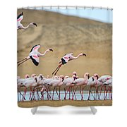 Greater Flamingos Phoenicopterus Shower Curtain