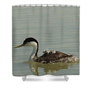 Grebe With Two Chicks On Its Back Shower Curtain