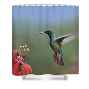 Green Breasted Mango Hummingbird Male Shower Curtain by Tim Fitzharris