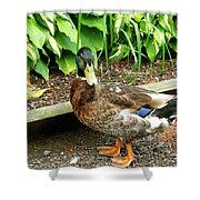 Green Head Mallard Duck 2 Shower Curtain