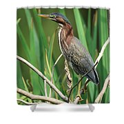 Green Heron At The Governor's Palace Gardens Shower Curtain