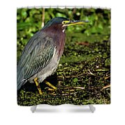 Green Heron In Swampy Water Shower Curtain