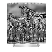 Grevy Zebra Party  7528bwc Shower Curtain