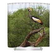 Grey Crowned Crane Shower Curtain by Yair Karelic