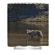 Grey Wolf In The Yellowstone River-signed-#4363 Shower Curtain