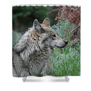 Grey Wolf Profile 2 Shower Curtain