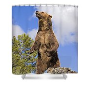 Grizzly Bear Standing On A Ridge Shower Curtain