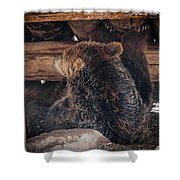 Grizzly Bear Under The Cabin Shower Curtain