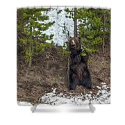 Grizzly Shaking A Tree Shower Curtain