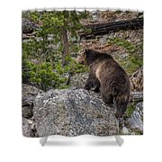 Grizzly Sow In Yellowstone Park Shower Curtain