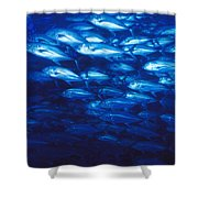 Group Of Bigeye Jacks Swimming By Shower Curtain