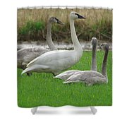 Group Of Young Swans Shower Curtain