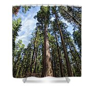 Grove Of Big Trees Shower Curtain