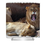 Growling Male Lion In Den With Two Females Shower Curtain