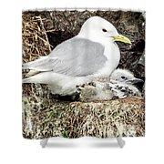 Gull Adult And Chick On Cliff Shower Curtain