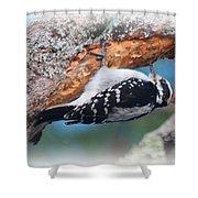 Hairy Woodpecker 2 Shower Curtain