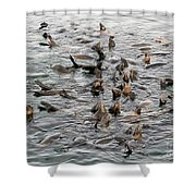 Happy Sea Lions In Santa Cruz Shower Curtain