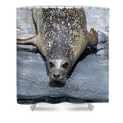 Harbor Seal Ready To Plunge Into The Water Shower Curtain