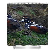 Harlequin Ducks  Shower Curtain
