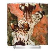 Harlequin Shrimp Hymenocera Elegans Shower Curtain