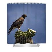 Harris Hawk Atop A Saguaro  Shower Curtain