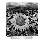 Hdr Sunflower Field. Shower Curtain