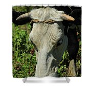Head Of A Holstein Cow With Horns Shower Curtain