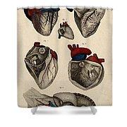 Heart, Anatomical Illustration, 1822 Shower Curtain