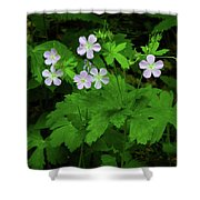 Herb Robert On The Ma At Shower Curtain